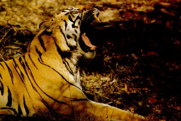 We Support Saving Tiger in Jhorkhali Area of Sundarbans