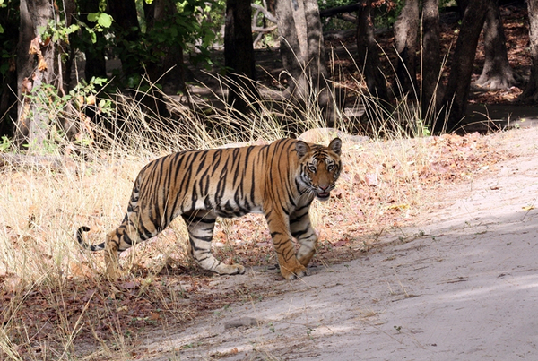 Trip to Dudhwa Bandhavgarh and Ranthambhore